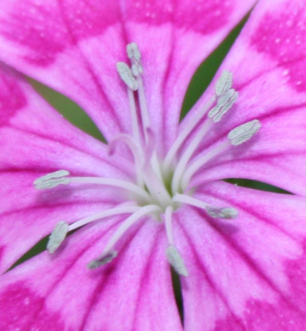 Ultimate Close-Up of Fully Grown Sweet William Flower in Our Mini Garden