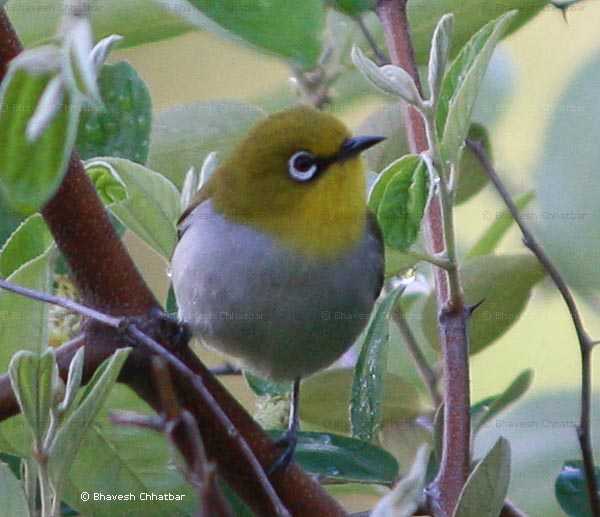 Oriental white-eye [Zosterops Palpebrosus] bird in leaves