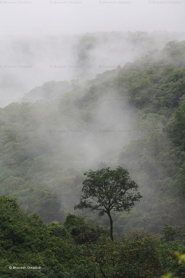 Monsoon in Tamhini Ghat - A stand out tree with hillscape and clouds