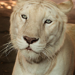 I Hope.... by Benaya Agung - Animals Lions, Tigers & Big Cats ( tiger, sad, wildlife, animal, potraits,  )