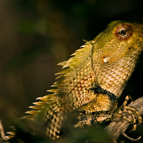Chemileon by Manjunath Nagesha Rao - Animals Reptiles