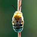 Common Blue Banded Bee