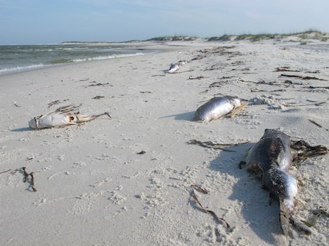 Video Hundreds Of Dead Fish Wash Up On Alabama Beach