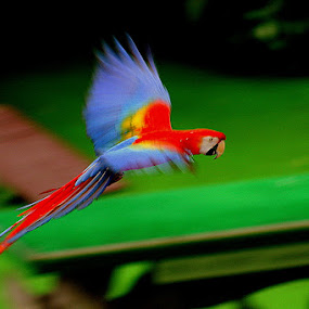 Macaws by Leong Jeam Wong - Animals Birds ( flight, colorful, parrot, long-tailed, Free, Freedom, Inspire, Inspiring, Inspirational, Emotion )