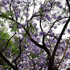 Jardines de Murillo - Jacarandá.jpg