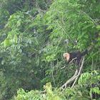 white face capuchin