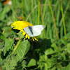 Small white butterfly (male)