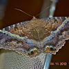 Mariposa de la Muerte-Black Witch Moth