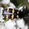 Jewel Beetle - 5