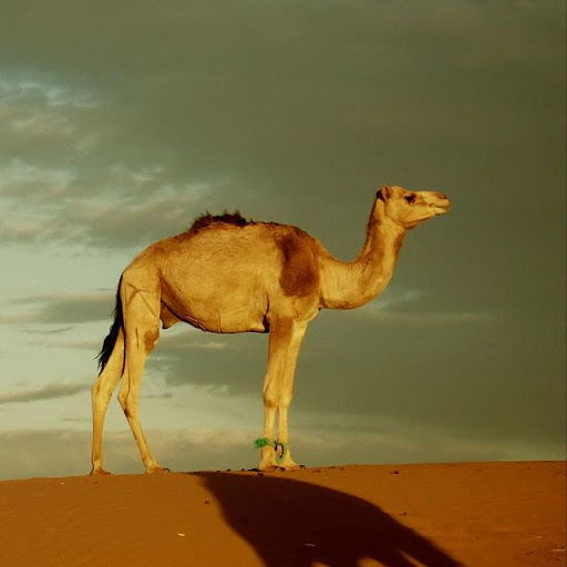 Camels Jigsaw Puzzles for PC