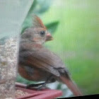 Northern Cardinal (juvenile female)