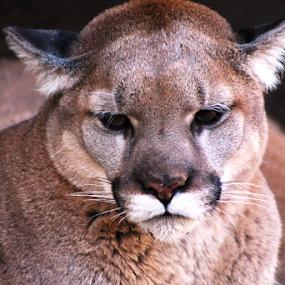 Animal Beauty by Jennifer Watkins Odom - Animals Lions, Tigers & Big Cats ( cougar,  )