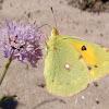 Colias mariposa
