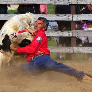 Calf Wrestling.jpg