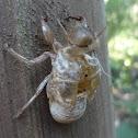 Cicada's exuvia