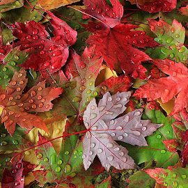 Colors by Besnik Hamiti - Nature Up Close Leaves & Grasses ( fall leaves on ground, red, autumn, fall, kosovo, vjeshta, raindrops, leaves, maple )