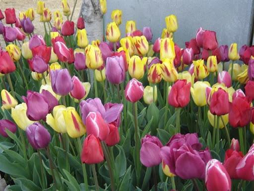 Tulipanes cuando plantar