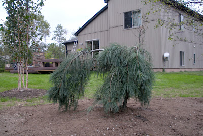 Building A House Backyard Planted Weeping White Pine