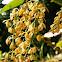 Orquidea epifita