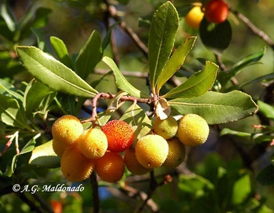 Arbutus unedo L. ALC  23 Sep 05 002 copia