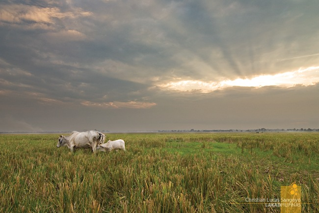 Mother and Daughter Cow at the Cabanatuan Rice Fields
