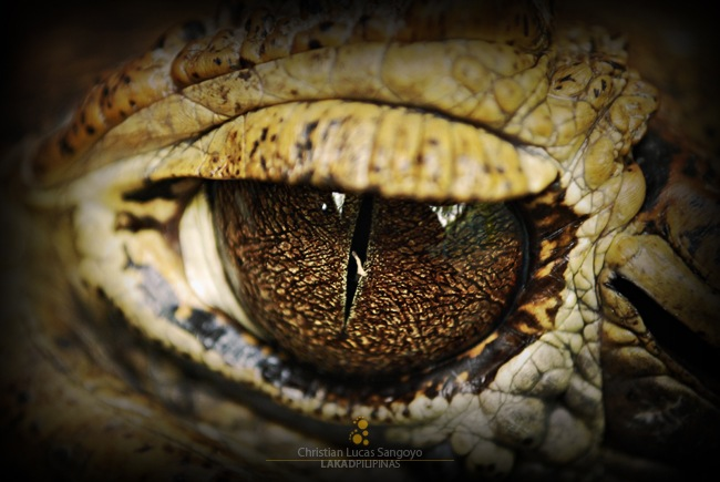 Detail of an Alligator Eye at the Manila Zoo