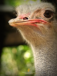 Big Bird Ostrich at the Manila Zoo