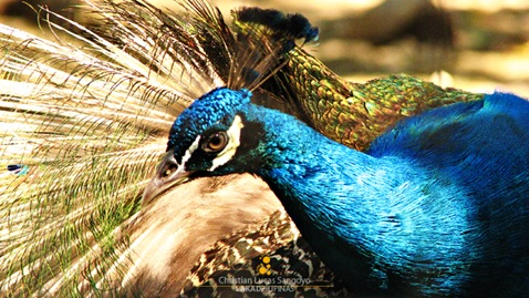 Peacock Colors at the Manila Zoo