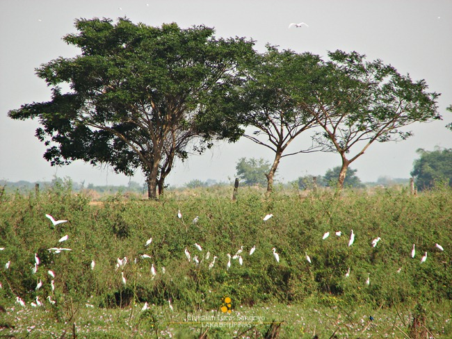 Egrets at the Candaba Bird Sanctuary