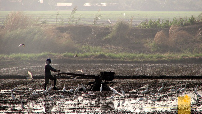 Egrets Unafraid of Farmers Tilling the Land in Candaba
