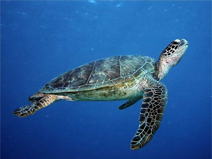 Endangered Species of Sea Turtles - green sea turtle