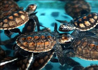 Endangered Species of Sea Turtles - hawksbill turtle