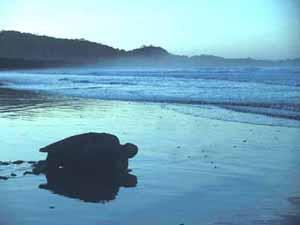 Endangered Species of Sea Turtles