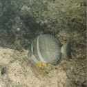 White spotted tang
