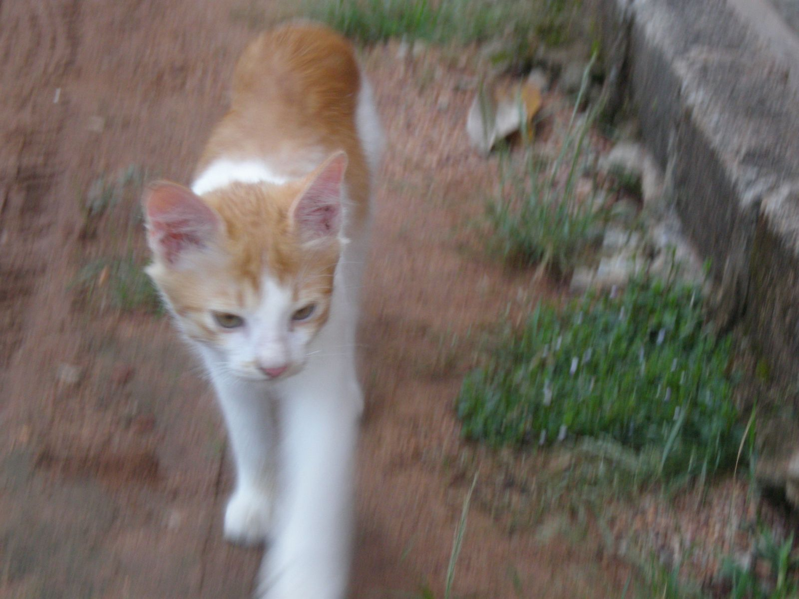 Midie Merapoh Kucing