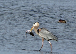 Great-Blue-Heron-Fishing