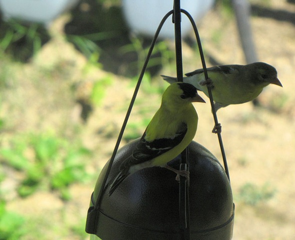 [goldfinch5[3].jpg]