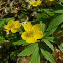 Buttercup anemone / Лютиковидна съсънка