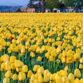 Yellow Tulip Farm by Dana Styber - Flowers Flower Gardens ( tulip fields, gardens, skagit valley wa, flowers )