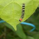 Owlet Moth Caterpillar