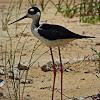 Black- necked stilt