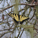 Eatern Tiger Swallowtail