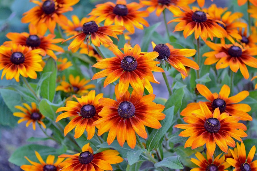 Sunbursts by Scot Gallion - Flowers Flower Gardens (  )