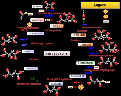 merupakan proses pemecahan materi organik menjadi materi anorganik dan melepaskan sejumlah  Respirasi Sel