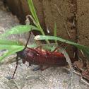 Brown Prionid beetle