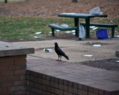 Raven and rubbish
