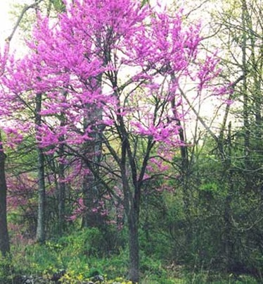 Eastern-Redbud-tree