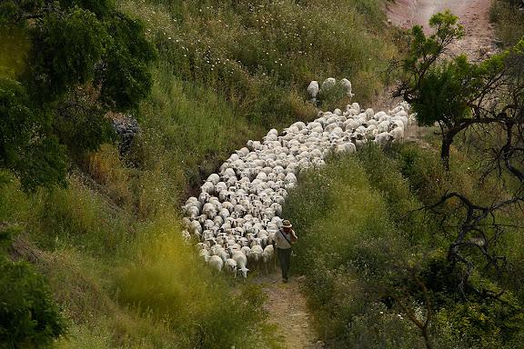 Ramat d'ovelles i pastor,Horta, Terra Alta, Tarragona