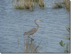5369 Great Blue Heron on Nature Walk South Padre Island Texas