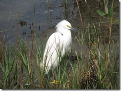 5377 Snowy Egret on Nature Walk South Padre Island Texas